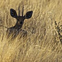 Kudu Antilope auf der Dabis Farm in der Nähe von Helmeringhausen, Namibia