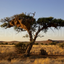 Baum auf der Dabisfarm in der Nähe von Helmeringhausen, Namibia