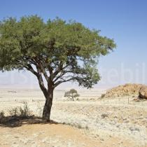 Baum in der Ebene des Tirasberg Conservancy zwischen Aus und Helmeringhausen, Namibia