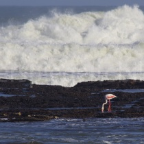 Flamingo an der Küste von Lüderitz, Namibia