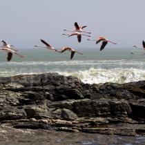 fliegende Flamingos vor Lüderitz, Namibia