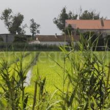 Reisfeld in der Camargue