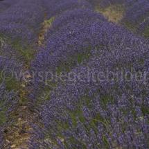 violettes Lavendelfeld in der Provence