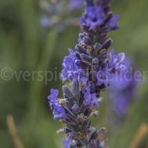 Lavendelblüte vor unscharfem Hintergrund mit Lavendelfeld