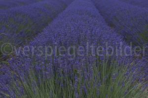 bläuliches Lavendelfeld in der Provence