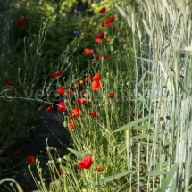 Botanischer Garten St. Gallen im Sommer, Mohnblumen neben Korn, von Sonne beleuchtet