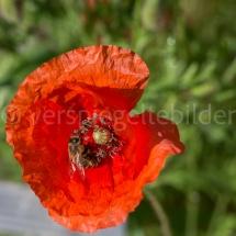 Botanischer Garten St. Gallen, Mohnblume in der Sonne mit Biene