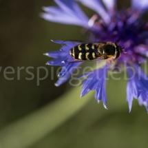 Botanischer Garten St. Gallen, Biene auf violetten Blütenblättern