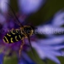 Botanischer Garten St. Gallen, Biene vor unschwarfem violettem Blütenblatt