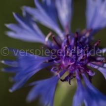 Botanischer Garten St. Gallen, Nahaufnahme einer violetten Blüte