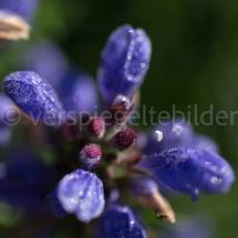 Botanischer Garten St. Gallen, violette Blüte in Nahaufnahme
