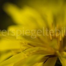 Botanischer Garten St. Gallen, gelbe Blüte mit wenig Tiefenschärfe