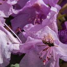 Botanischer Garten St. Gallen, rosa Blüten mit Biene
