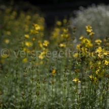 Botanischer Garten St. Gallen, gelbe Blumen in grünen Blättern