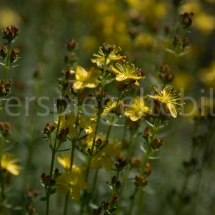 Botanischer Garten St. Gallen, gelbe Blüten mit roten Knospen