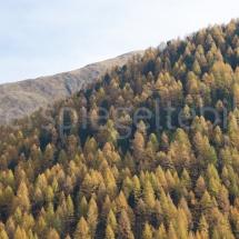 Lärchenwald an einem Berghang