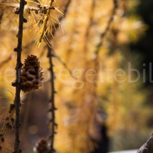 Nahaufnahme eines Tannzapfens vor gelben Lärchen