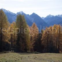 Bunte Lärchen vor Bergpanorama oberhalb von Scuol