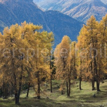 Gelbe Lärchen auf einer abfallenden Alpwiese
