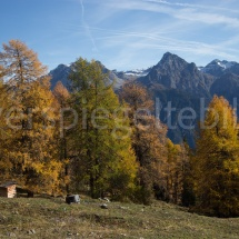 Lärchen auf einer Alpwiese vor Bergpanorama